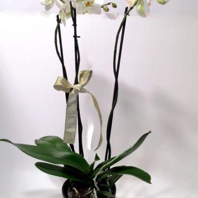XL-orhidee potis